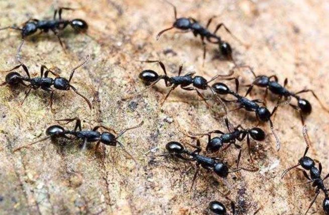 घर से चींटी भगाने
