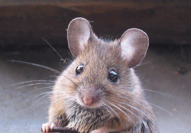 घर से चूहा भगाने