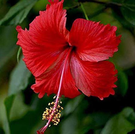 गुड़हल फूलों हेयर कलर