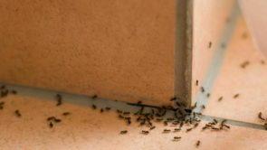 घर में मौजूद कीड़े-मकोड़ों से छुटकारा दिलाने में कारगर हैं ये एसेंशियल ऑयल्स।