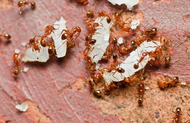 लाल चींटी के काटने पर