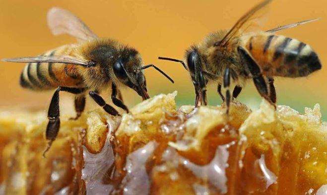 मधुमक्खी के काटने पर