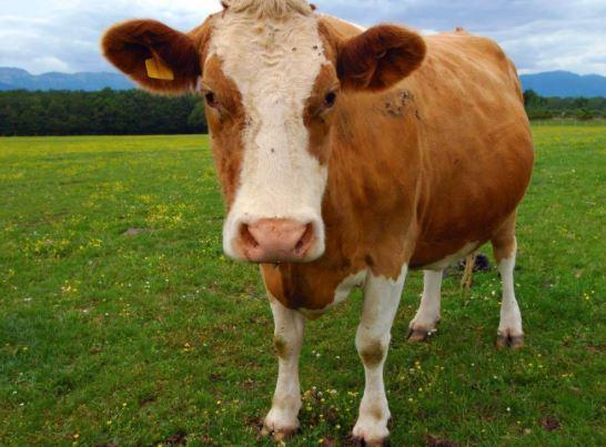 cow pinkstea