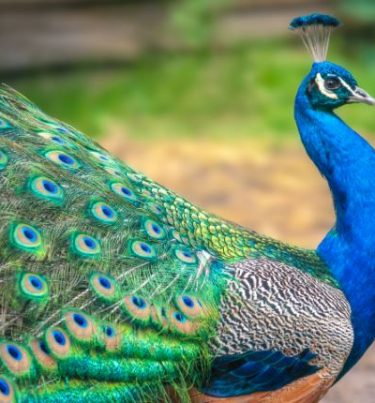 Essay On Peacock In Hindi : मोर पर निबंध लिखने का तरीका।